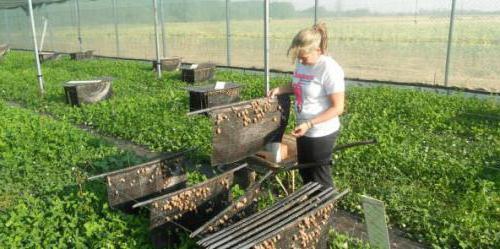 Разведение виноградных улиток. Виды