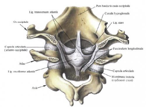 Атлантозатылочный сустав.