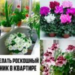 Секрет прост роскошного комнатного цветника!