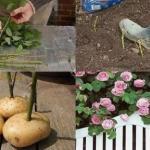 Маленький секрет от садоводов: черенки срезанных роз нужно обрезать, поместить в картофелины и в таком виде закопать на 7-9 см.